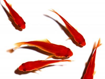 ماهی قرمز را در رودخانهها رها نکنید