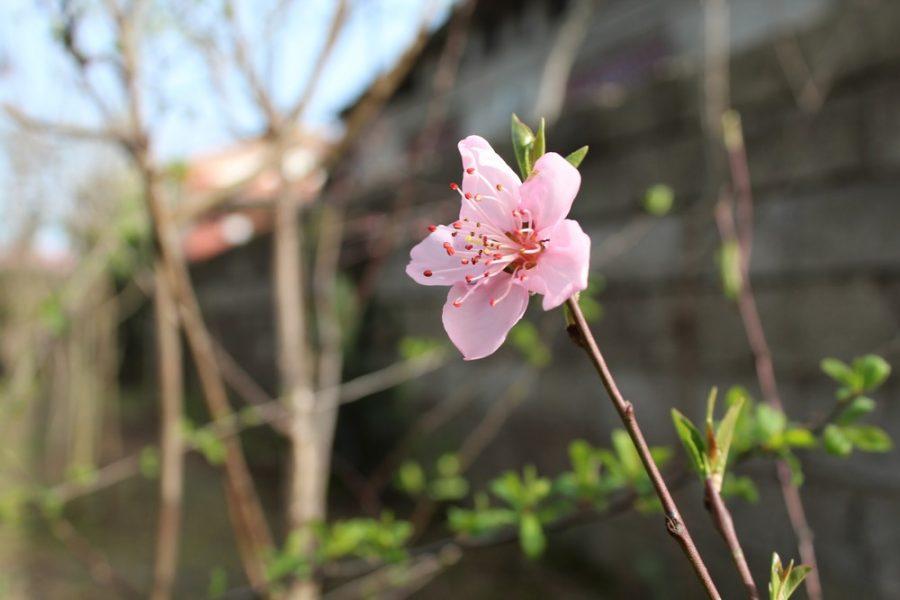 شکوفه های بهاری روستای کندسر کلاچای