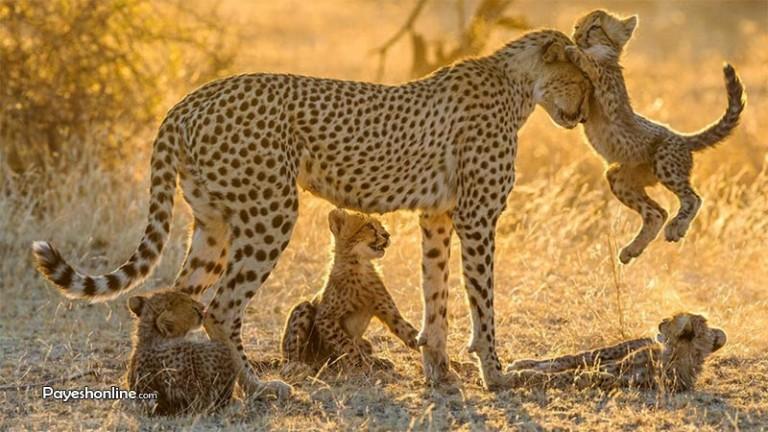 روابط مادر و فرزندی در حیوانات +تصاویر