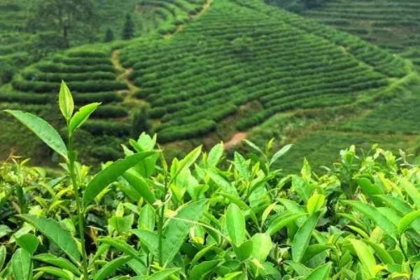 20160328150412753 - پرداخت تسهیلات یک میلیون وششصد هزارتومان به کشاورزان چایکار در شمال کشور