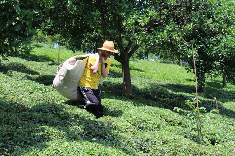برداشت چای بهاره از باغات چای روستای بازنشین رحیم آباد گیلان