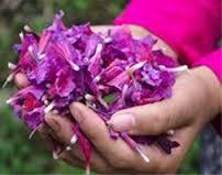 برداشت بیش از ۹۰درصد گل گاوزبان در رودسر