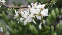 شکوفه دهی درختان آلوچه رودسر در تابستان