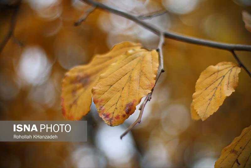 آغاز فصل پاییز و اولین برگ های زرد درختان – رشت