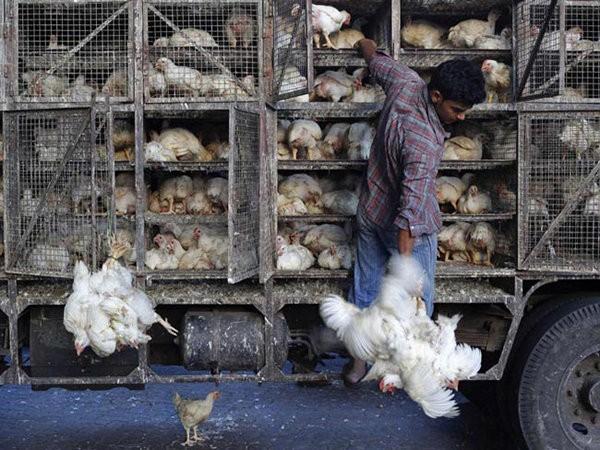 ۴ خودروی غیر مجاز حمل مرغ زنده در لاهیجان توقیف شد