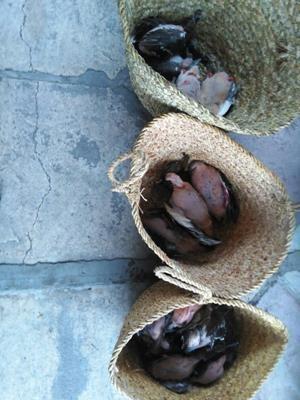 جمع آوری بیش از ۴۰ پرنده شکار شده در بازار لاهیجان + تصاویر