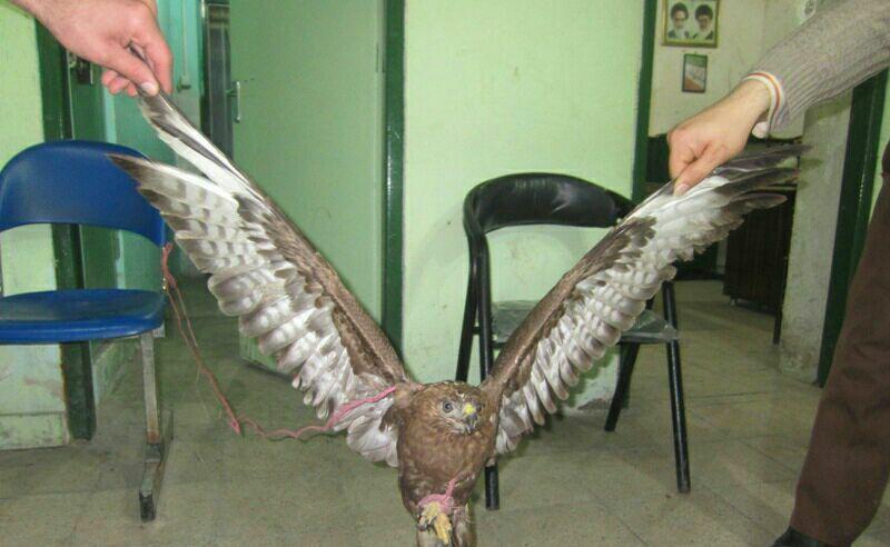 نجات یک بهله عقاب در شهرستان شفت