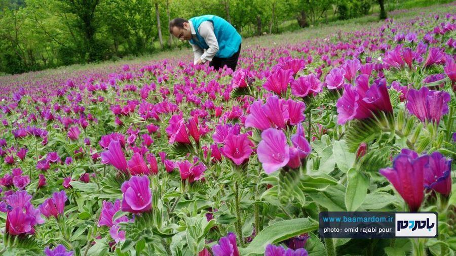 پیش بینی تولید ۲۲۰ تن گل گاوزبان در شهرستان رودسر