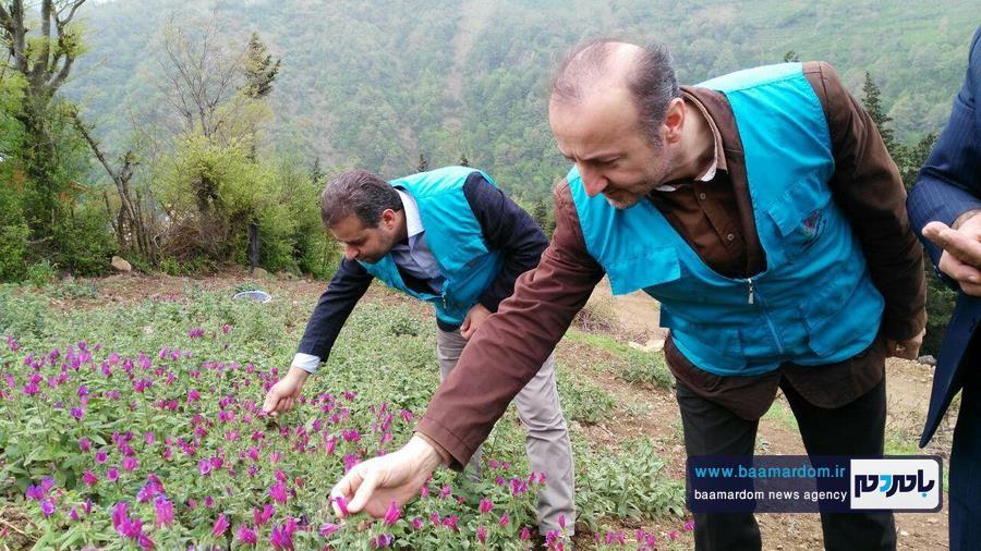 برداشت گل گاو زبان در اشکورات 11 - اولین برداشت گل گاو زبان در اشکورات رحیم آباد + تصاویر