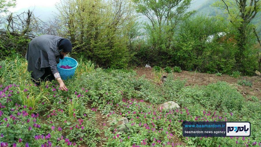 برداشت گل گاو زبان در اشکورات 2 - اولین برداشت گل گاو زبان در اشکورات رحیم آباد + تصاویر