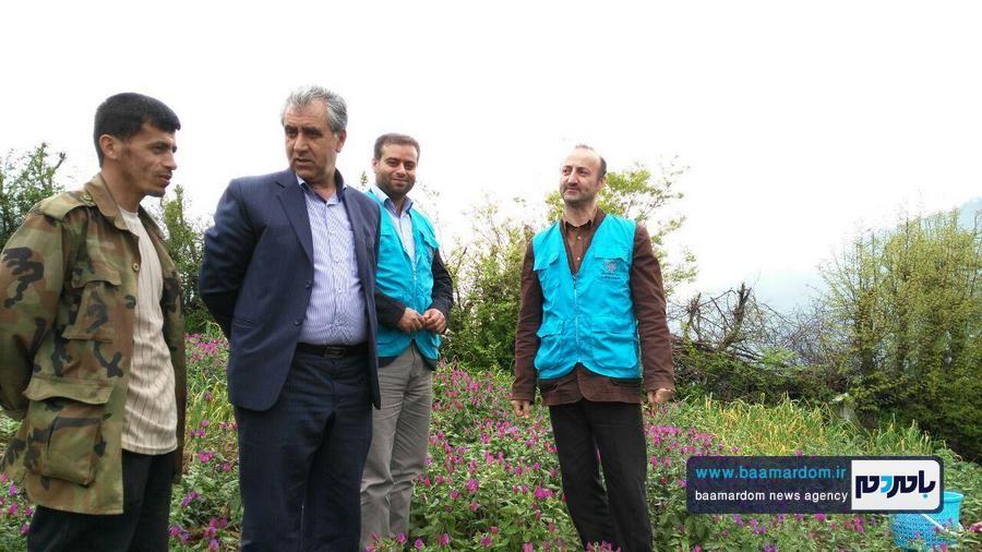 برداشت گل گاو زبان در اشکورات 3 - اولین برداشت گل گاو زبان در اشکورات رحیم آباد + تصاویر