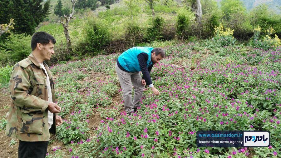 برداشت گل گاو زبان در اشکورات 5 - اولین برداشت گل گاو زبان در اشکورات رحیم آباد + تصاویر
