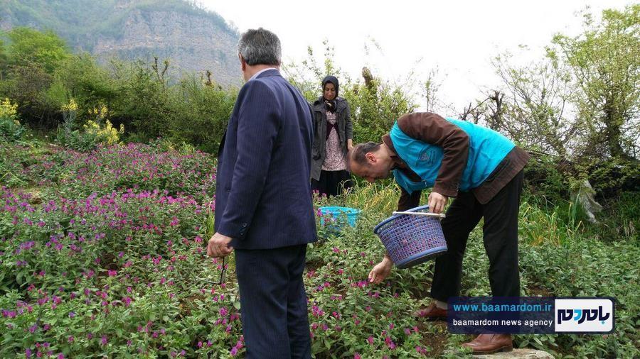 برداشت گل گاو زبان در اشکورات 6 - اولین برداشت گل گاو زبان در اشکورات رحیم آباد + تصاویر