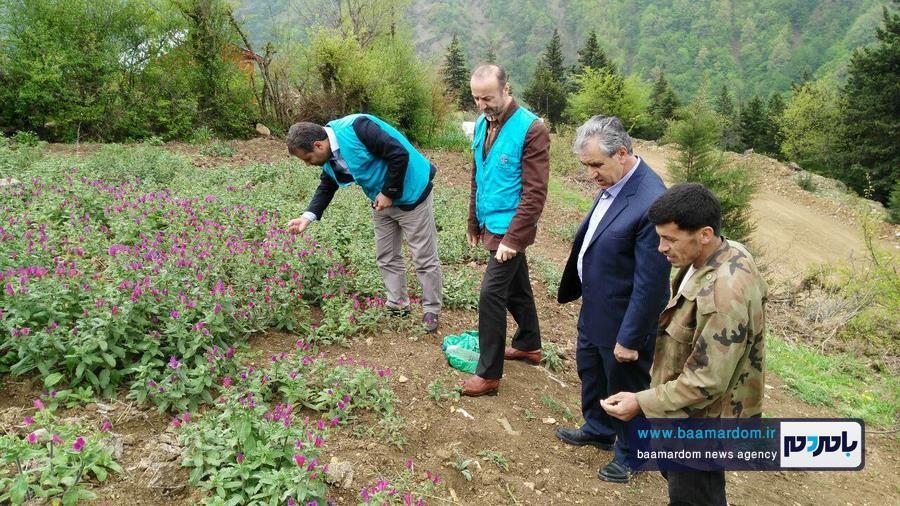 برداشت گل گاو زبان در اشکورات 8 - اولین برداشت گل گاو زبان در اشکورات رحیم آباد + تصاویر