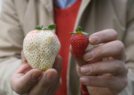 توت فرنگی دانه ای ۱۵۰ هزار تومان! + عکس