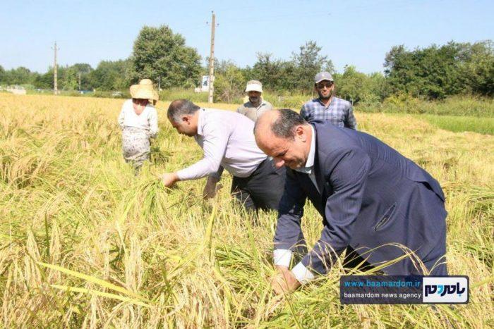 همیاری فرماندار آستانهاشرفیه با کشاورزان برای برداشت برنج | گزارش تصویری