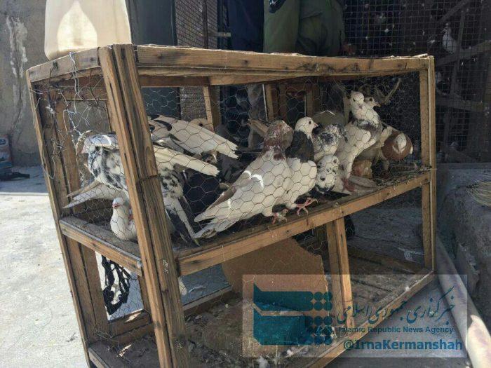 کبوترهای موادبَر به تور پلیس افتادند!