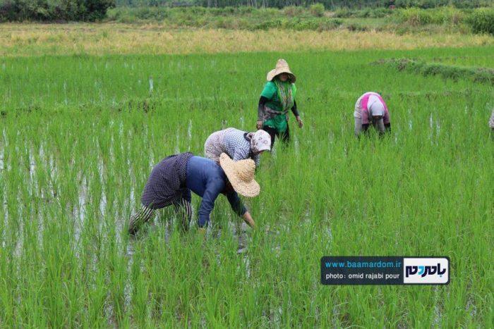 کشت دوم برنج در گیلاکجان رودسر | گزارش تصویری