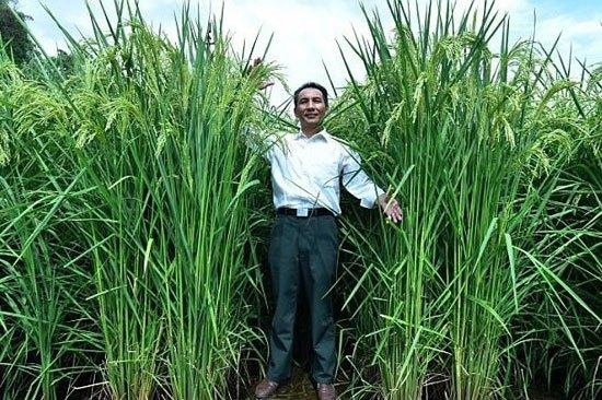 دانشمندان چینی برنج ۲ متری پرورش دادند