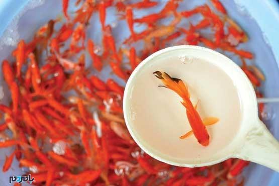 ماهی قرمز - ماهی قرمز گیلان بدون بیماری
