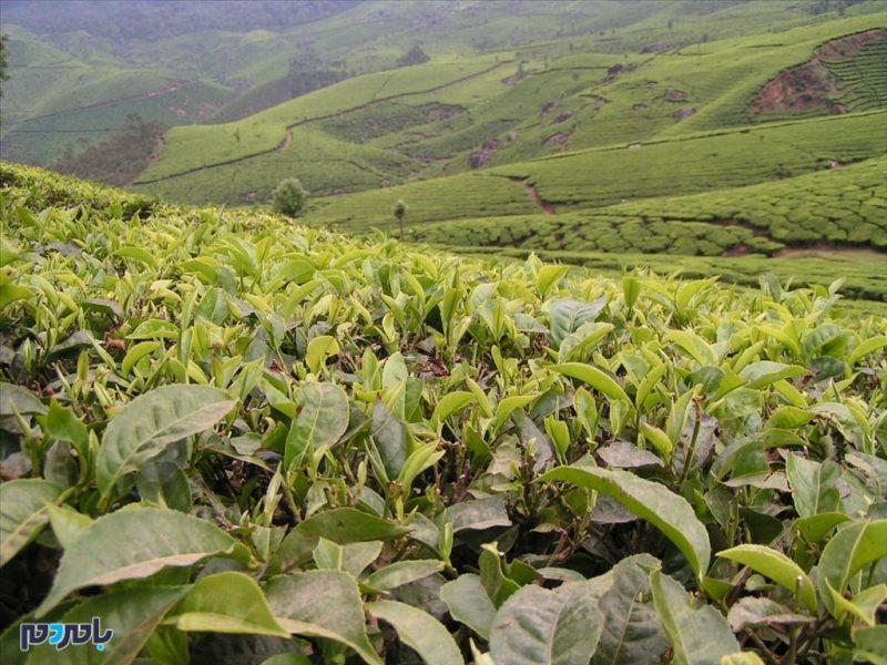 انجمن علمی چای ایران در لاهیجان تاسیس می شود