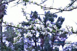 تصاویری تماشایی از زیباییهای فصل بهار و شکوفههای درختان در گیلان