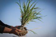 شالیکاران گیلان بذر بی شناسنامه نکارند