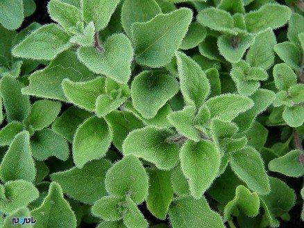با این گیاهان، عفونت را ضربه فنی کنید