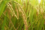 خوشه های برنج در آستارا به بار نشست
