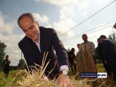 درو برنج کشاورز کلاچایی توسط فرماندار رودسر + تصاویر