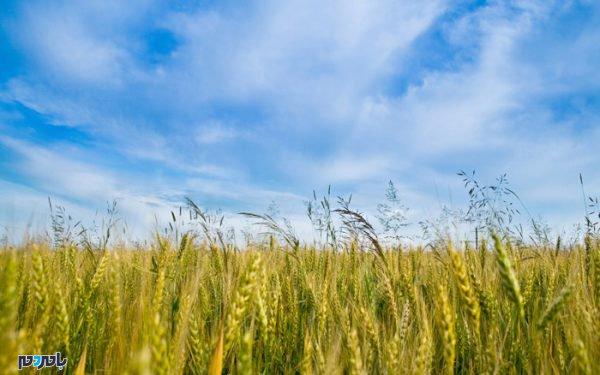 برنج 600x375 - افزایش دما و رطوبت هوا / شالیکاران طی ۷۲ ساعت آینده محصول خود را برداشت کنند