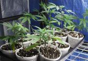 کاشت ماریجوآنا در پشت بام منزل مسکونی در نیاوران + عکس