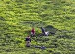 همهچیز درباره ردیف دار شدن خرید تضمینی برگ سبز چای در لایحه بودجه ۹۸
