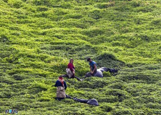 چای 557x400 - ۸۰ درصد مطالبات چایکاران استانهای شمالی پرداخت شد