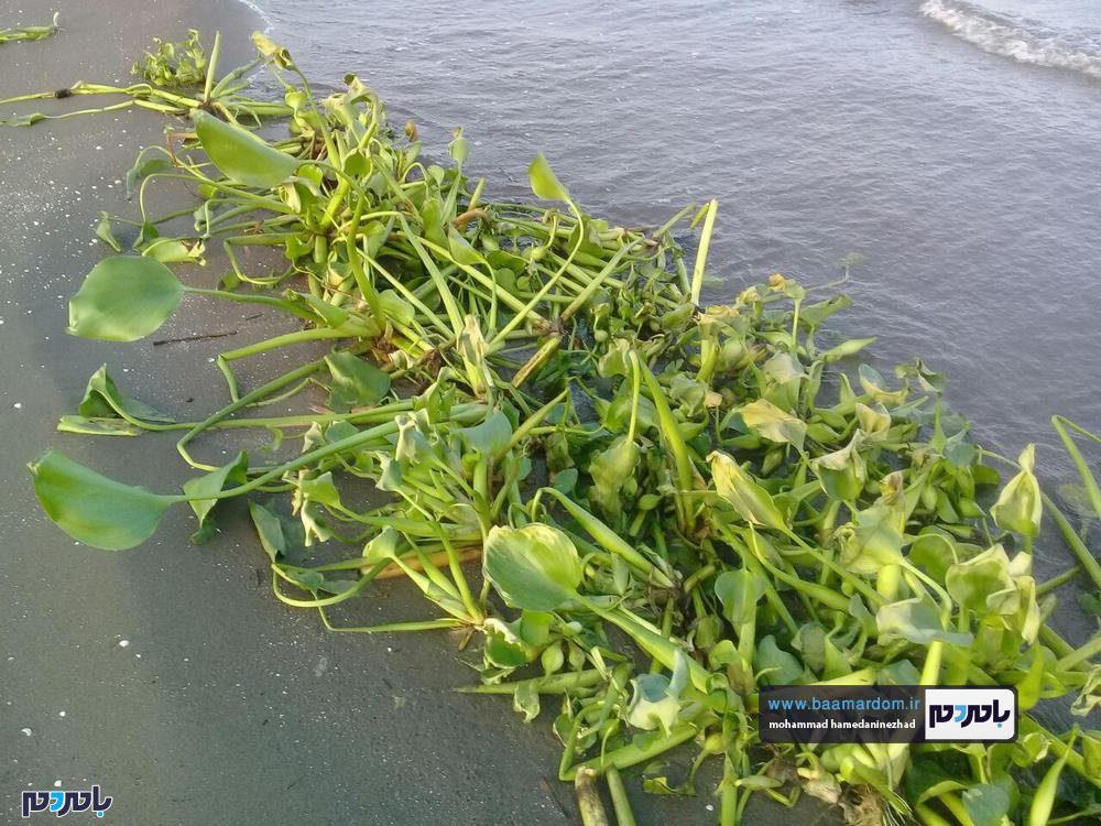 همایش پاکسازی ساحل رودسر از گیاه مهاجم سنبل آبی برگزار میشود
