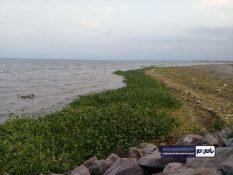 سواحل رودسر در محاصره گیاه مهاجم سنبل آبی / گزارش تصویری