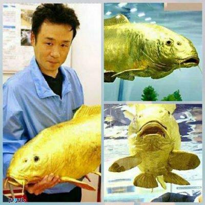 203977 508 400x400 - کشف ماهی شگفت انگیز به رنگ طلائی با عیار ۲۴ + عکس