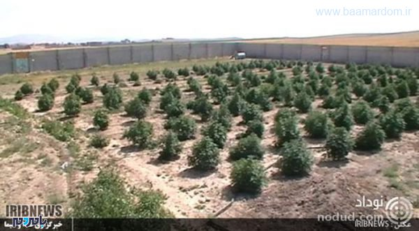 q3urt crop c0 5 0 5 700x386 75 600x331 - کشف یک مزرعه بزرگ ماری جوانا + عکس ها
