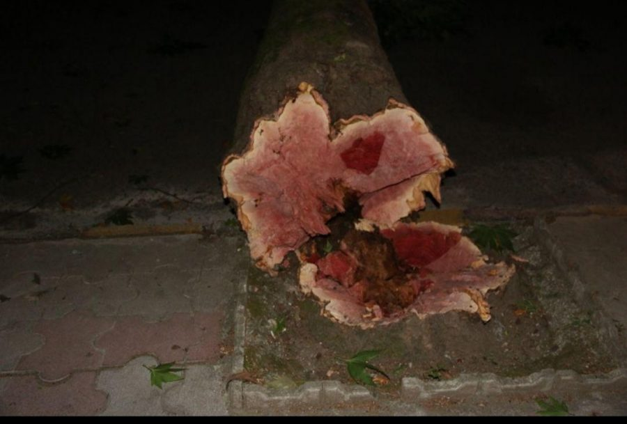 شدید در لاهیجان و سقوط درختان فرسوده 2 - طوفان شدید در لاهیجان و سقوط درختان فرسوده + تصاویر