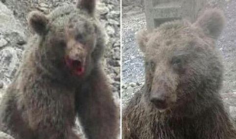 خرس آلاشت - قصه تکراری یک حیوانکشی دیگر، اینبار در آلاشت