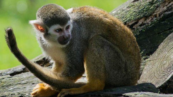 میمون 600x338 - میمونی که کارمند رسمی راهآهن شد! +عکس
