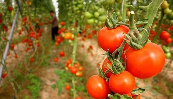 گوجهفرنگی 600x343 - این ۵ متهم گرانی گوجهفرنگی را بشناسید