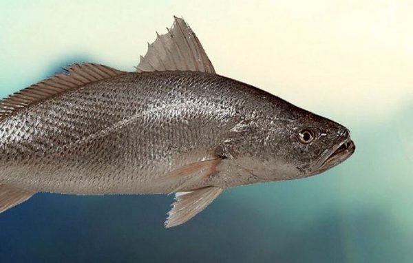 ماهی 600x382 - بلای وحشتناکی که سر ماهیگیر به دلیل بوسیدن ماهی آمد!+ عکس