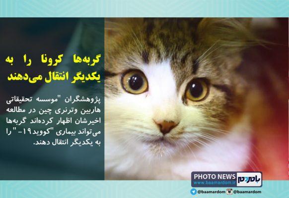 گربهها کرونا را به یکدیگر انتقال میدهند 582x400 - گربهها کرونا را به یکدیگر انتقال میدهند