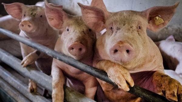 آنفلوآنزای خوکی 600x337 - شناسایی ویروس جدید آنفلوآنزای خوکی در چین با توان «همهگیری جهانی»