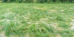 خسارت گسترده سیل به شالیزارهای گیلان/ آب در پی وقوع سیل افزایش یافت