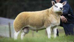 گرانترین گوسفند دنیا با قیمت میلیاردی به فروش رسید !+عکس