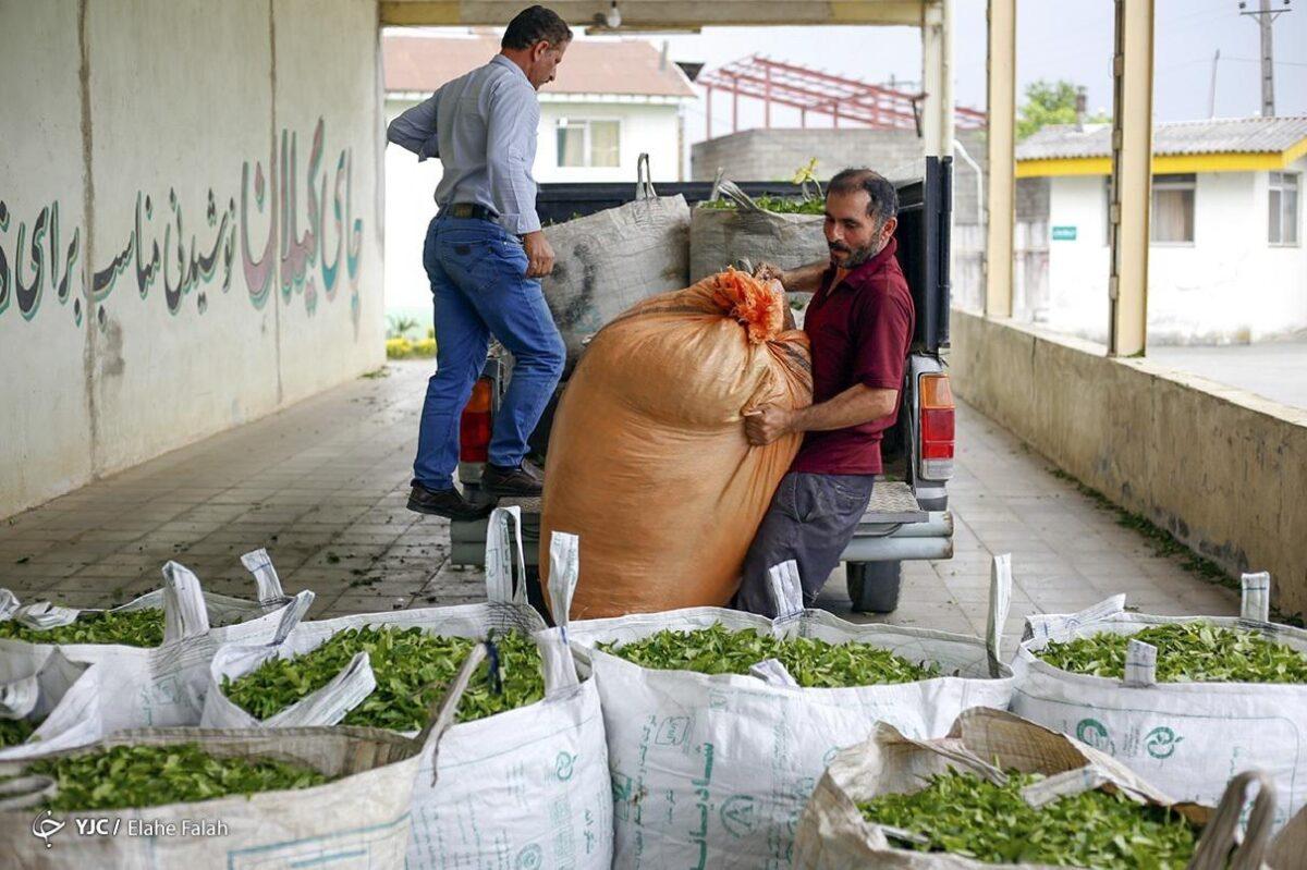 تصاویری از برداشت برگ سبز چای در گیلان 1 scaled - تصاویری از برداشت برگ سبز چای در گیلان
