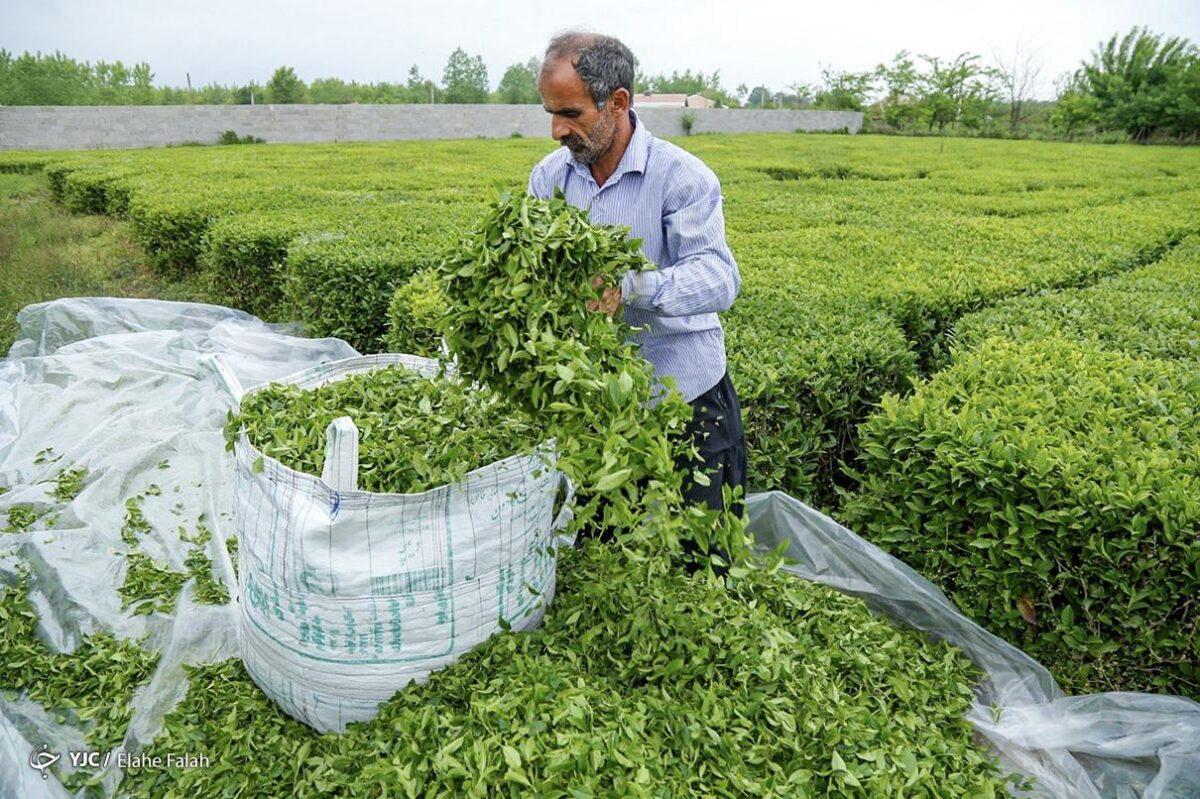 تصاویری از برداشت برگ سبز چای در گیلان 10 scaled - تصاویری از برداشت برگ سبز چای در گیلان