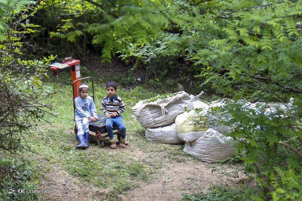تصاویری از برداشت برگ سبز چای در گیلان 3 scaled - تصاویری از برداشت برگ سبز چای در گیلان